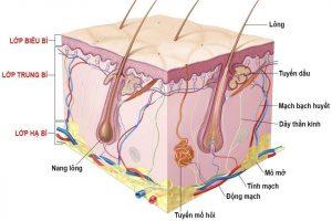Cấu tạo da và các chức phận của da